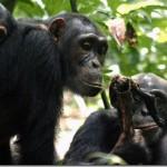 【出典メモ】チンパンジーの「肉を贈ったメスとの交尾に至る確率は約2倍」研究―9月13日「林修先生の今やる!ハイスクール」関連