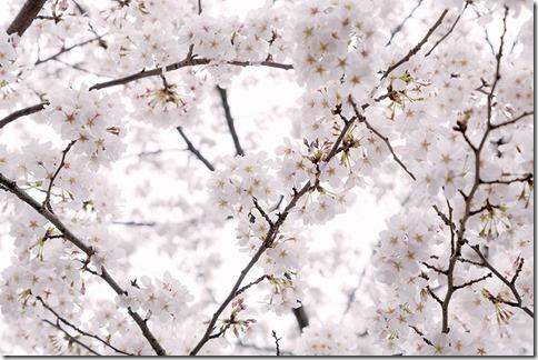 2014-03-31_PAK86_hizasigamabushiisakura20130323500