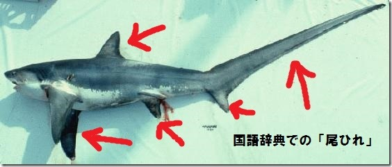 ohireright_Thresher_shark