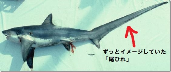 ohirewrong_Thresher_shark