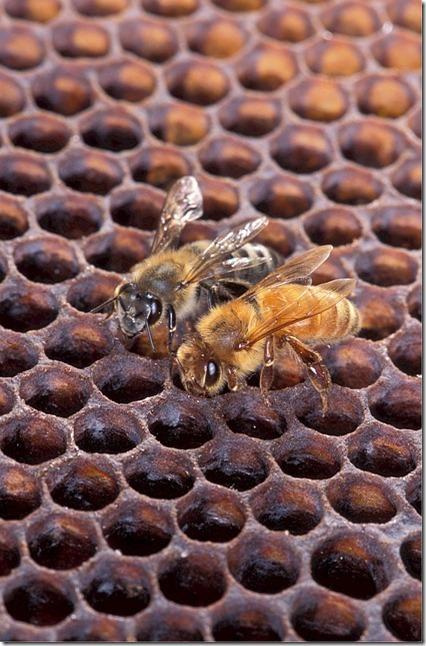 20150816_honeybee-520827_640