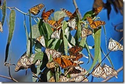 20150820_monarch-migration-155
