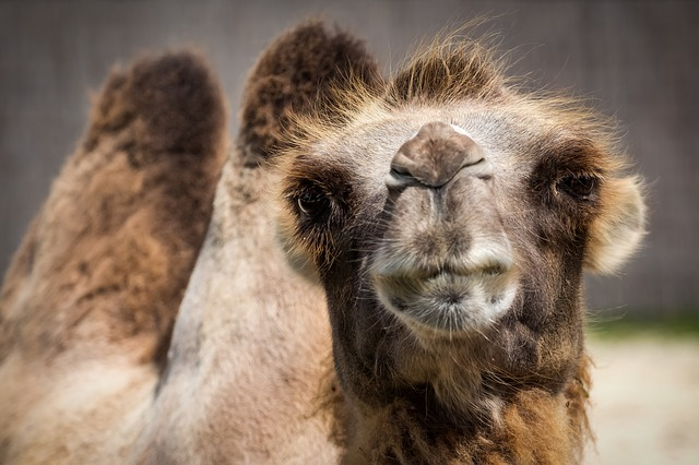 20181203_camel-1615446_640